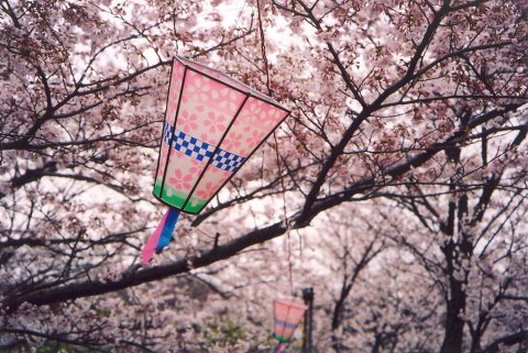 Hanami Time for my incoming 28th birthday!